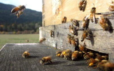 مشروع تربية النحل منحل لإنتاج العسل دراسة جدوى