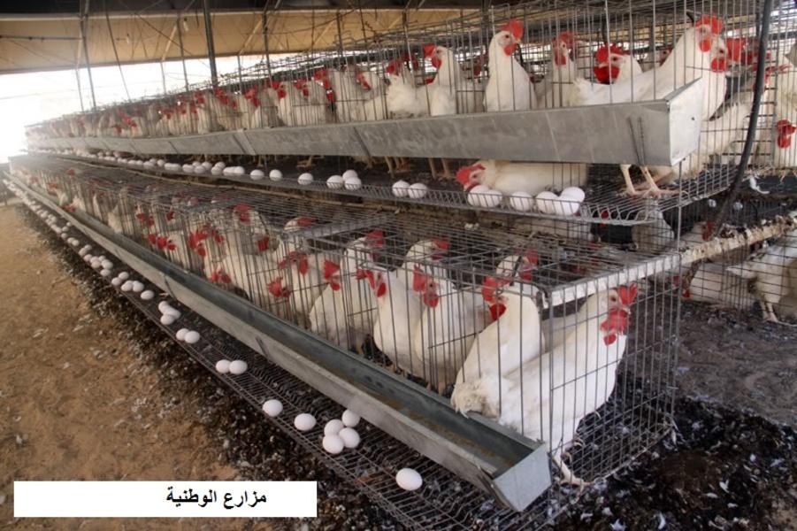 مشروع دواجن بياض لإنتاج بيض المائدة