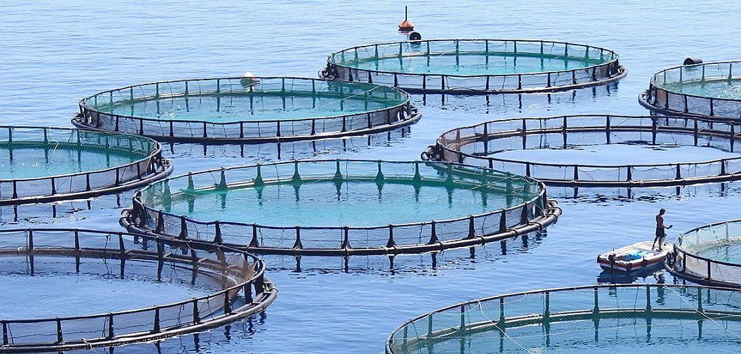 مشروع مزرعة اسماك كيف تنج في مشروع الاستزراع السمكي في السعودية