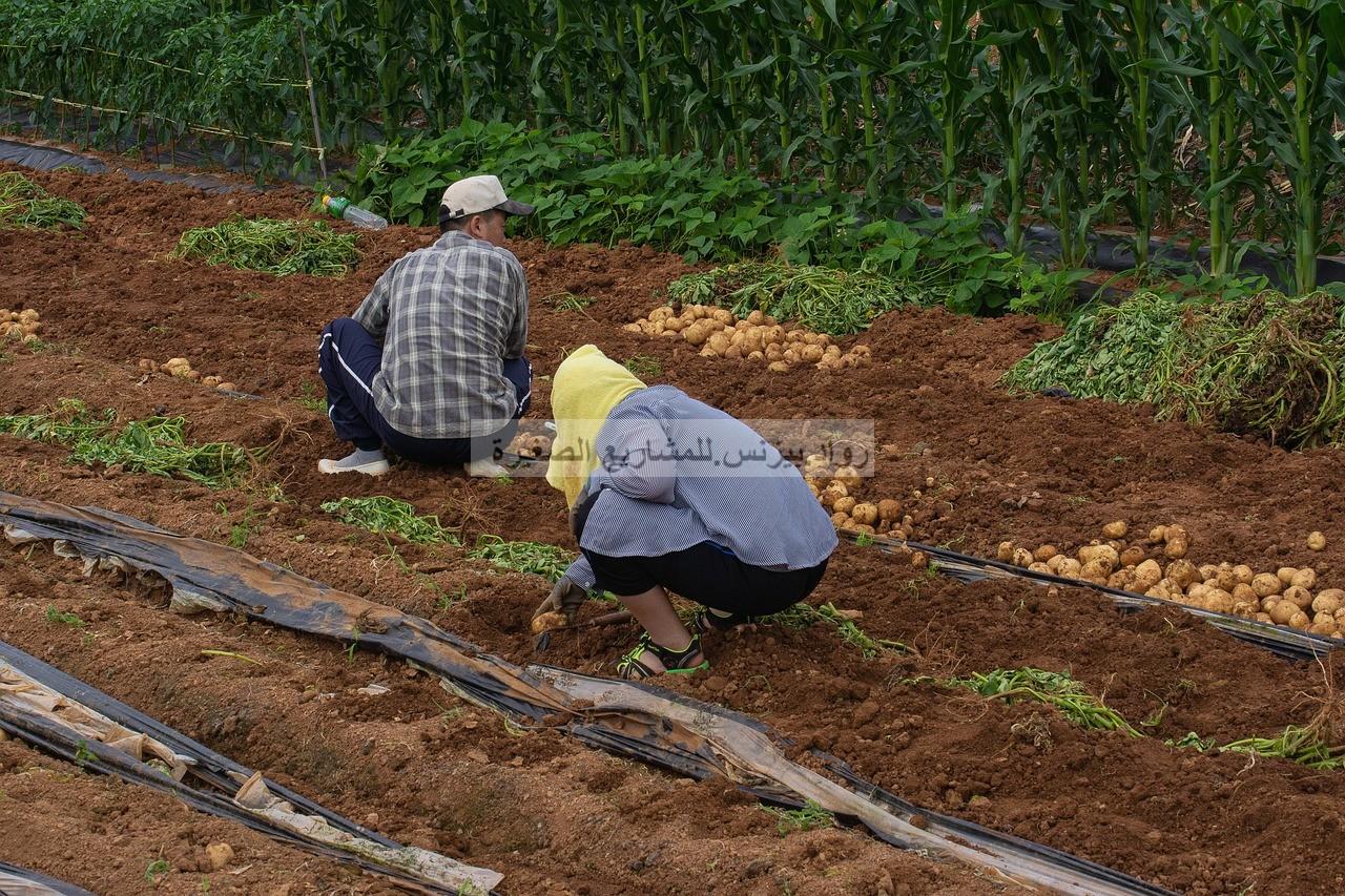 مشروع زراعة البطاطس في السعودية كيف تبدأ