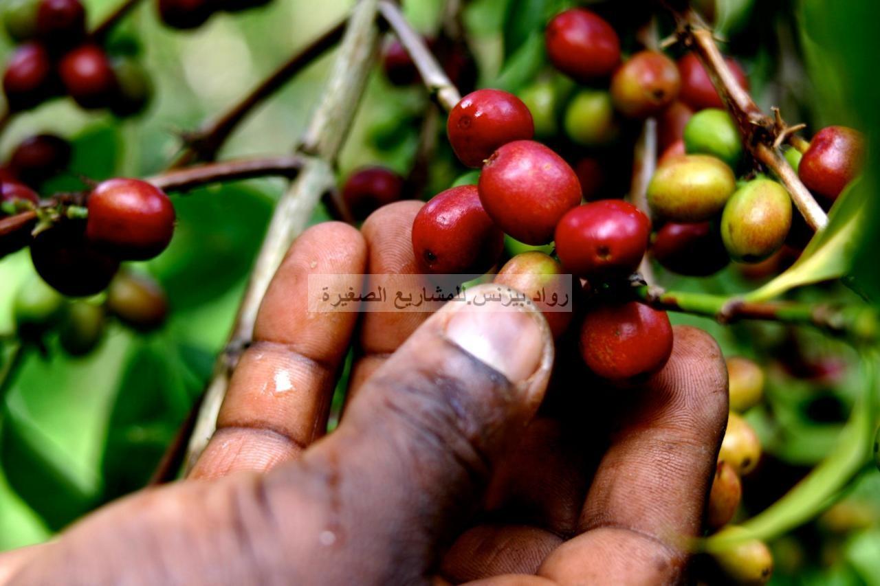 مشروع زراعة البن القهوة نصائح ومعلومات مهمة لتأسيس المشروع