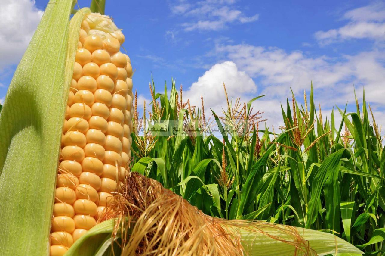 مشروع زراعة الذرة مع دراسة جدوى PDF