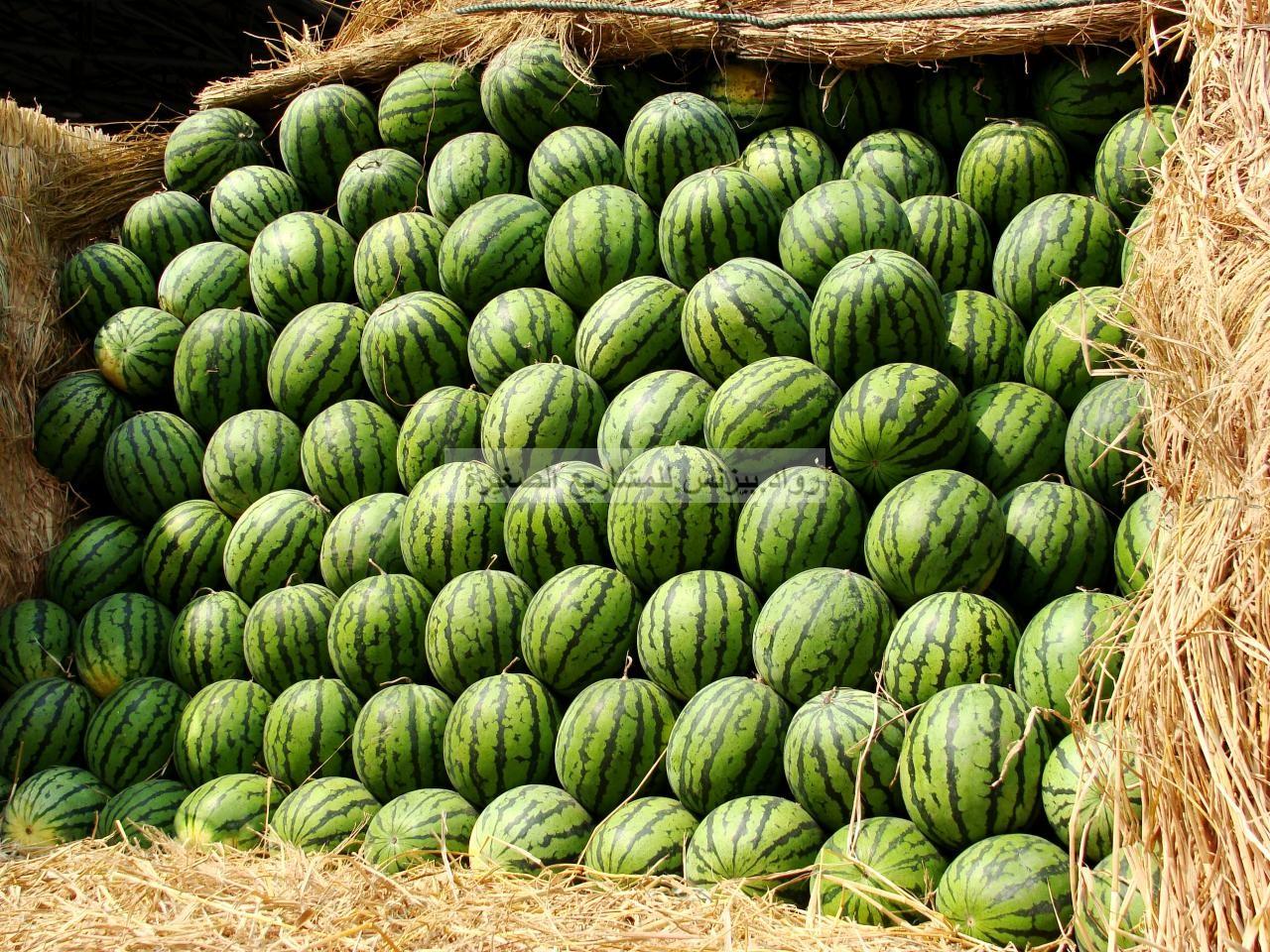 مشروع زراعة البطيخ في السعودية خطوات تفصيليه