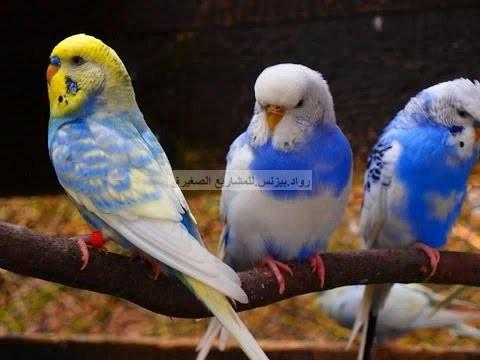 صورة طائر البادجي