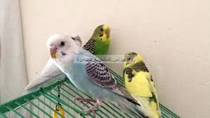 صورة طائر الحب