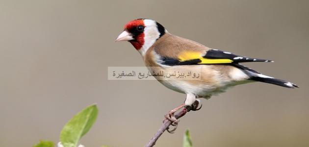 صورة طائر الحسون