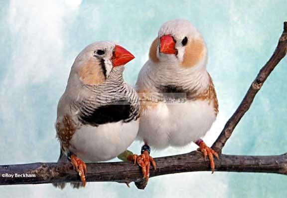 صورة طائر الزيبرا