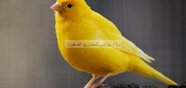 صورة طائر الكناري