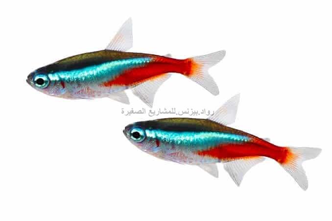 سمك النيون تترا
