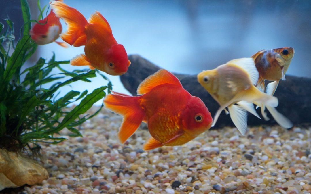 مشروع أسماك الزينة معلومات مهمة للبدء بتربية أسماك الزينة