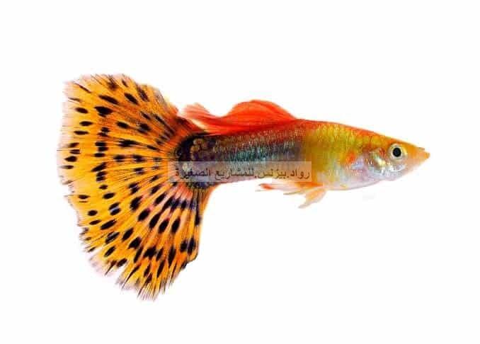 أسماك الغابي