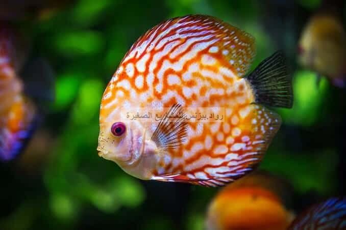 سمكة قرص الرمي